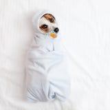 Lügenhund mit soother Lizenzfreies Stockbild