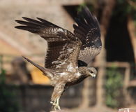 Lądować Eagle Zdjęcia Stock
