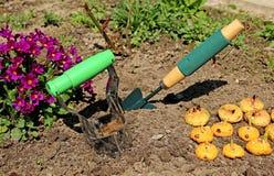Lądować odrośnięte żarówki gladioluses Fotografia Stock