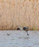 lądowanie popielata czaplia woda Fotografia Royalty Free
