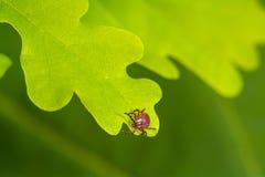 Lądzieniec obsiadanie na zielonym liściu Niebezpieczeństwo kleszczowy kąsek obrazy royalty free