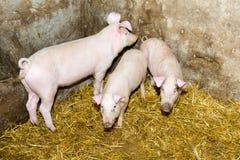 Lęgowe świnie na gospodarstwie rolnym Świniowata grypa Obraz Stock