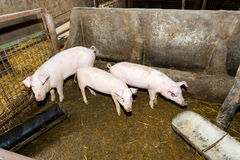 Lęgowe świnie na gospodarstwie rolnym Świniowata grypa Obrazy Stock