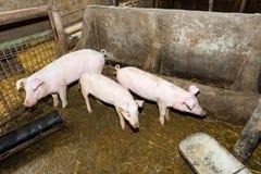 Lęgowe świnie na gospodarstwie rolnym Świniowata grypa zdjęcie stock
