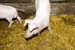 Lęgowe świnie na gospodarstwie rolnym Świniowata grypa Fotografia Stock