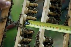 Lęgowe królowych pszczoły Zdjęcia Royalty Free