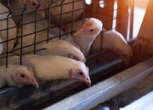 Lęgowi broiler kurczaki i kurczaki, broiler kurczaki siedzą za barami w budzie, drób mieścą, biegają fotografia royalty free