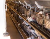 Lęgowi broiler kurczaki i kurczaki, broiler kurczaki siedzą za barami w budzie, drób mieścą, hencoop obraz royalty free