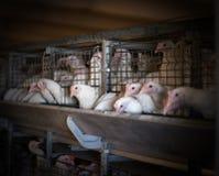 Lęgowi broiler kurczaki i kurczaki, broiler kurczaki siedzą za barami w budzie, drób mieścą, przemysł obraz stock