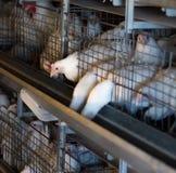 Lęgowi broiler kurczaki i kurczaki, broiler kurczaki siedzą za barami w budzie, drób mieścą, rzucają, obraz stock
