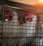 Lęgowi broiler kurczaki i kurczaki, broiler kurczaki siedzą za barami w budzie, drób mieścą, uprawiają ziemię, zdjęcia royalty free