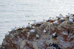 Lęgowi ptaki w falezach Helgoland obrazy royalty free