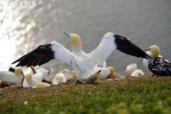 Lęgowi ptaki w falezach Helgoland fotografia stock
