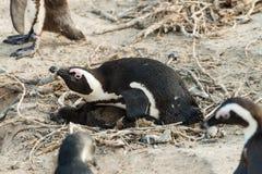 Lęgowy Afrykański pingwinu lat Spheniscus Demersus przy głazami Obraz Stock