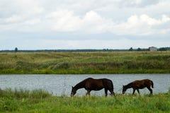 Lęgowy koń z źrebięciem w paśniku Obraz Royalty Free