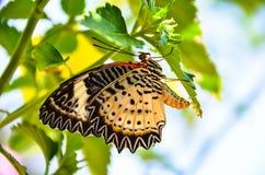 lęgowy motyl oprzędza rzędy obrazy stock