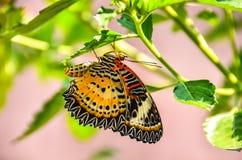 lęgowy motyl oprzędza rzędy obraz royalty free