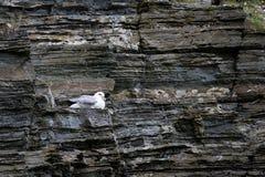 Lęgowy petrel na skałach Szkocja Obrazy Stock