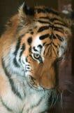 Lękliwy tygrys obraz royalty free