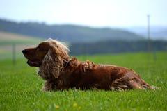 l'À cheveux longs-chien se situe dans le pré Photos stock