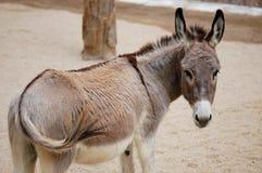 L'âne Photos libres de droits