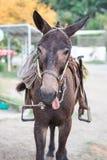 L'âne colle sa langue Photo stock