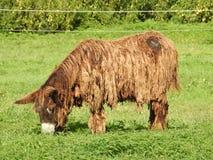 L'âne du Poitou Photographie stock