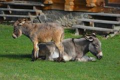L'âne et le bourrique-cul se dorent au soleil photographie stock