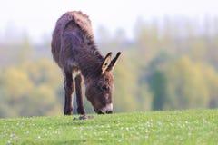 L'âne frôlent sur le pré floral de ressort Images libres de droits
