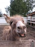 L'âne hirsute drôle a collé sa tête au-dessus de la barrière dans l'observation de sourire de pré photo libre de droits