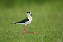 L'échasse à ailes par noir de marche d'oiseau Noir-s'est envolée le himantopus d'échasse/Himantopus images stock