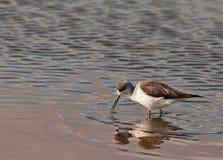 L'échasse Noir-à ailes Images stock