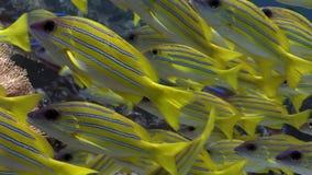 L'école des poissons de Lucian a barré le fond de la mer étonnant sous-marin de cordelettes en Maldives banque de vidéos