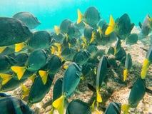 L'école du surgeonfish Jaune-coupé la queue outre de la côte d'Espanola est Photos libres de droits