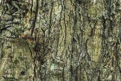 L'écorce de chêne Photos libres de droits