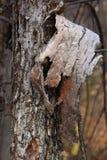 L'écorce de l'arbre pend du tronc Photographie stock libre de droits