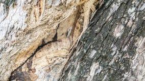 L'écorce de l'arbre pour le fond Images libres de droits