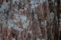 L'écorce de pin avec des mousses et les lichens soustraient le fond Images stock