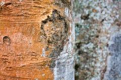 L'écorce des arbres tropicaux Images libres de droits