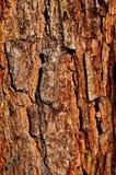 L'écorce du pin sibérien. Images stock