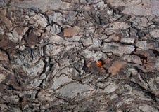 L'écorce est texture d'arbre de Ladybird Photos stock