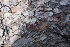 L'écorce est texture d'arbre de Ladybird Image stock