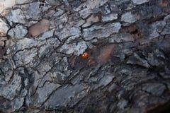 L'écorce est texture d'arbre de Ladybird Photographie stock