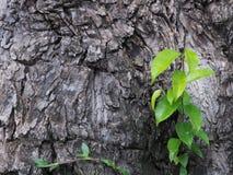 L'écorce noire avec les feuilles vertes se développent belle image stock