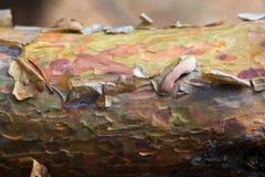 L'écorce sur le tronc du pin Images stock