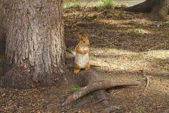 L'écureuil Photo libre de droits