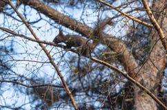 L'écureuil Image libre de droits