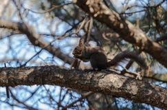 L'écureuil Photo stock