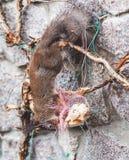 L'écureuil accroche à l'envers sur la barrière et le ronge sur des biscuits Image libre de droits