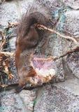 L'écureuil accroche à l'envers sur la barrière et le ronge sur des biscuits Image stock